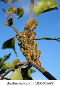 Buff-Tip Larvas (Phalera bucephala) The yellow-and-black caterpillars gather and eat one leave at the time