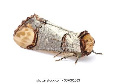 Buff-tip moth (Phalera bucephala) on a white background