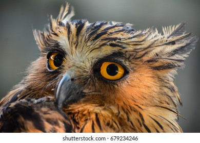 Buffy Fish Owl. Bubo ketupu.Close-up of large menacing eyes. Malay Fish Owl