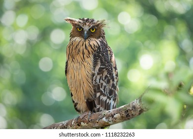 Buffy Fish Owl (Ketupa ketupu) or Malay fish owl, male bird resting on perch and looking at camera, forest bokeh background at Reserved swamp forest Area, Phatthalung, Southern Thailand. Curious Owl