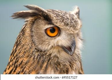 Buffy Fish-owl