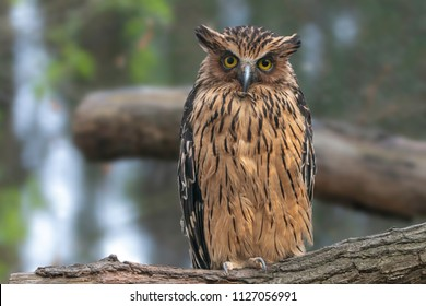 Buffy Fish-owl (Ketupa ketupu) or Malay fish owl sitting on a log. The feathers are edged tawny and the wings and tail are broadly barred yellowish and dark brown.