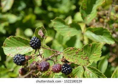 bug climbing on a bramble bush