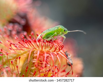 bug (Hemiptera) trapped by a spoon-leaved sundew plant, Drosera tokaiensis, close-up, from the front