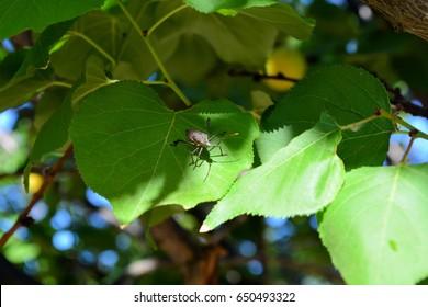 Bug sitting on apricot tree leaf in garden