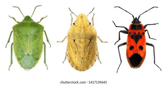 Bug species of Mediterranean Region (Hemiptera) isolated on a white background