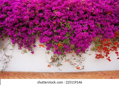Bugambilia vines covering a wall in Lima, Peru