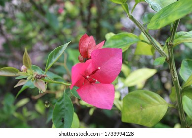 Bugambilias flower on the grandparents garden