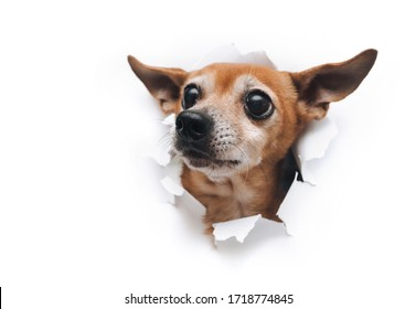 Bug-eyed dog muzzle close up. The head of funny Russian Toy Terrier peeps out through a hole on a white torn paper background look up. Isolated and copy space. Concept of spy, curiosity and snoop.