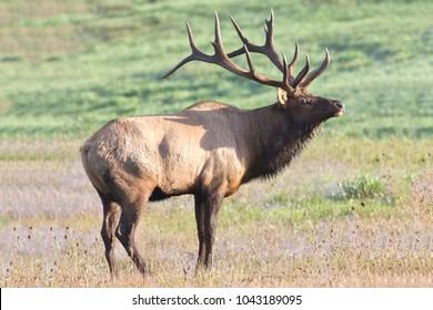 Bugling bull elk.