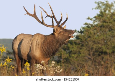 Bugling Bull Elk - Photograph taken during the rut in Elk County, Elk State Forest, Benezette, Pennsylvania
