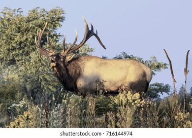 Bugling bull elk - photograph taken in Elk County, Elk State Forest, Benezette, Pennsylvania.