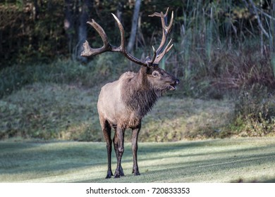 Bugling bull elk - photograph taken in Elk County, Elk State Forest, Benezette, Pennsylvania.