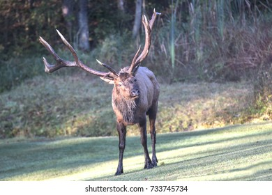 Bugling Bull Elk - photographed in Elk County, Elk State Forest, Benezette, Pennsylvania.