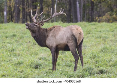Bugling Bull Elk photographed in Elk State Forest, Elk County, Pennsylvania
