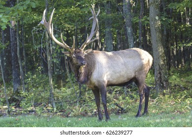 Bugling Bull Elk - Photographed in Elk State Forest, Elk County, Benezette, Pen