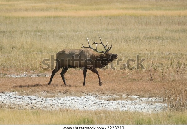 Bugling bull elk, Yellowstone