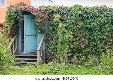 Building covered by vines Parthenocissus quinquefolia, front view
