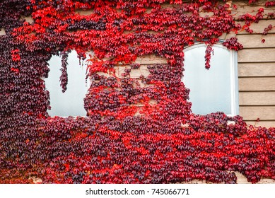 building with white windows and red ivy around it autumn