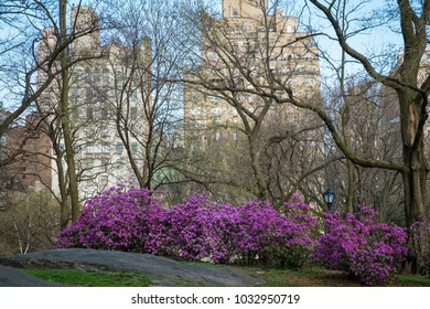 Buildings and blooming azalea bushes, Central Park, New York City