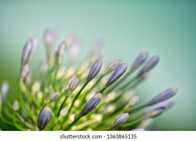 Bulb of Blue Onion Flowers in Summer