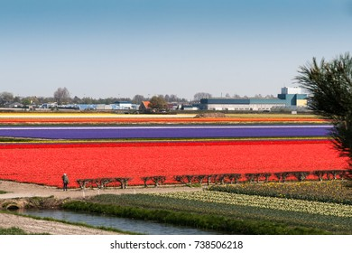 Bulb fields at The Keukenhof, Dutch Public Spring Flowers Garden, Lisse, Zuid Holland, NLD
