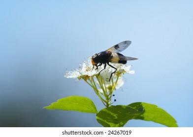 Bulb Fly Volucella pellucens on flowers