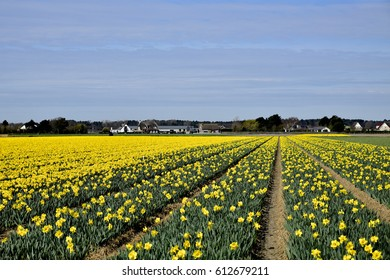 Bulb-growing industry near Noordwijkerhout, The Netherlands; flower bulbs an important agricultural product