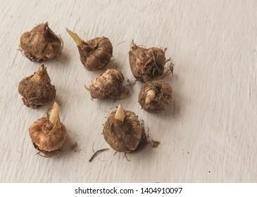 Bulbs of Ixia  on a gray table. Flat lay