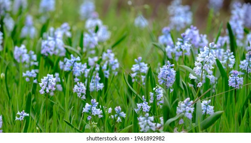 Bule Spanish bluebell flowers. Hyacinthoides hispanica