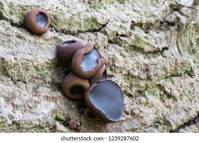 Bulgaria inquinans is a fungus in the family Bulgariaceae. It is commonly known by the name black bulgar.