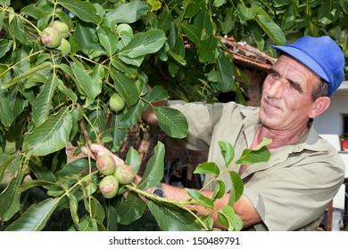 Bulgarian old farmer checking his walnut harvest