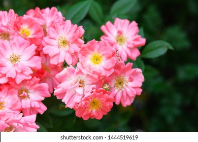 Bulgarian rose valley. Rose Damascena fields. Roses background in flowers garden.