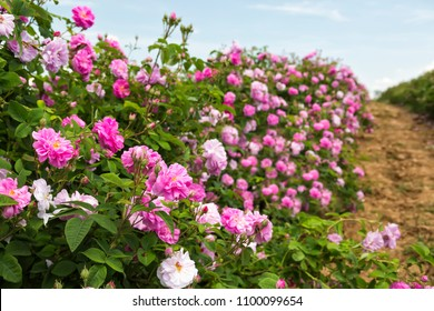 Bulgarian rose valley near Kazanlak. Rose Damascena fields.
