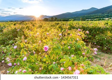 Bulgarian rose valley near Kazanlak. Rose Damascena fields for rose oil production.