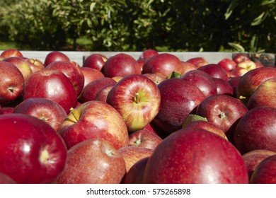 Bulk of Red Apples In the Wooden Box