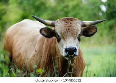 bull of aubrac breed