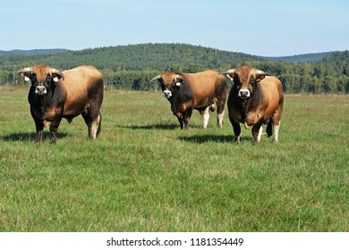 Bull Aubrac cattle