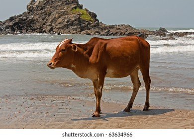 bull at the beach in India state Goa