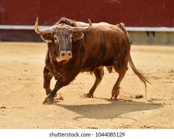 bull with big horns in bullring