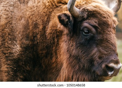 Bull bison closeup portrait in western europe zoo. Furry brown danferous herbivore animal habits in summer ooutdoor on field in wild nature. Buffalo wildlife. Head with horns. Funny muzzle looking