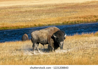 Bull bison during the rut in Yellowstone Park