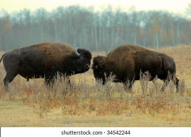 Bull bison fighting