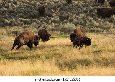 Bull bison fighting for dominance in the herd