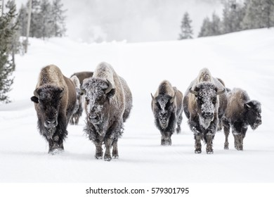 Bull Bison (Bison bison) herd in snow