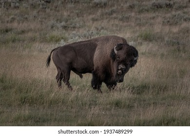 Bull Bison Looks At Camera and Snarls with Medium lens