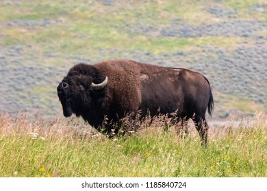A bull bison in Yellowstone National Park
