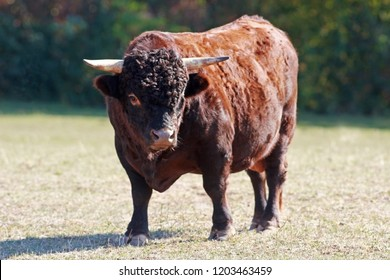 bull of the breed Dexter cattle on a pasture, looking into camera