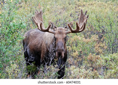 Bull or Buck Moose in Denali National Park Alaska