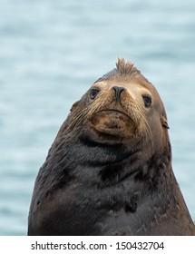 Bull California Sea Lion